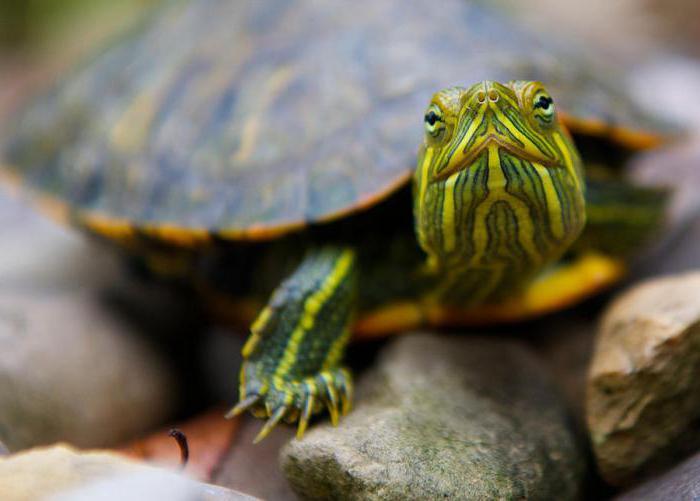 как отличить красноухую черепаху от декоративной