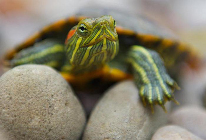 красноухая декоративная черепаха уход в домашних условиях