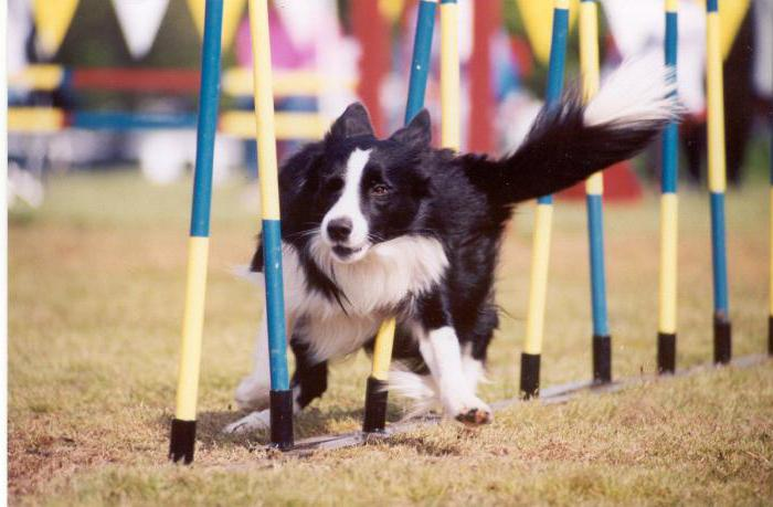дрессировка собак аджилити