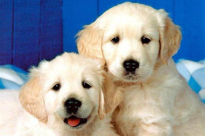 график прививок для собак до года