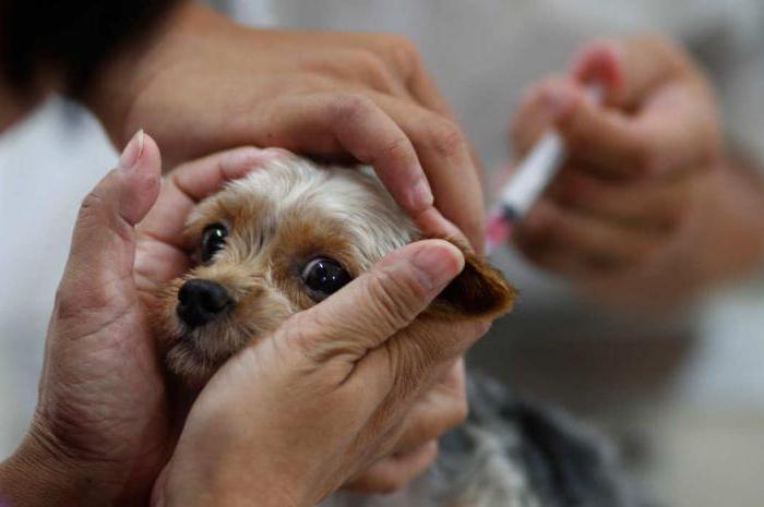 Как сделать прививку щенку йорка