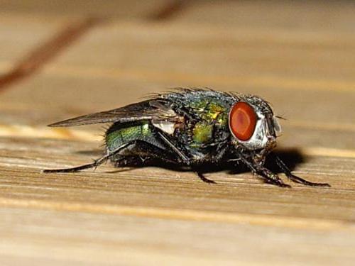 К чему снится стая мух