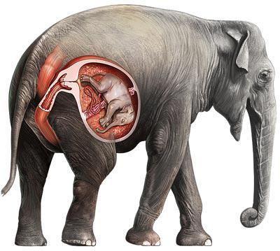 Беременность слон сколько длится