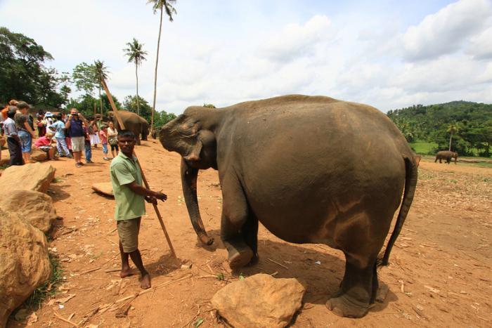 срок беременности слона