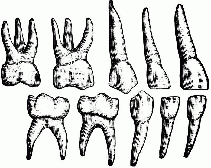 Строение верхних зубов человека