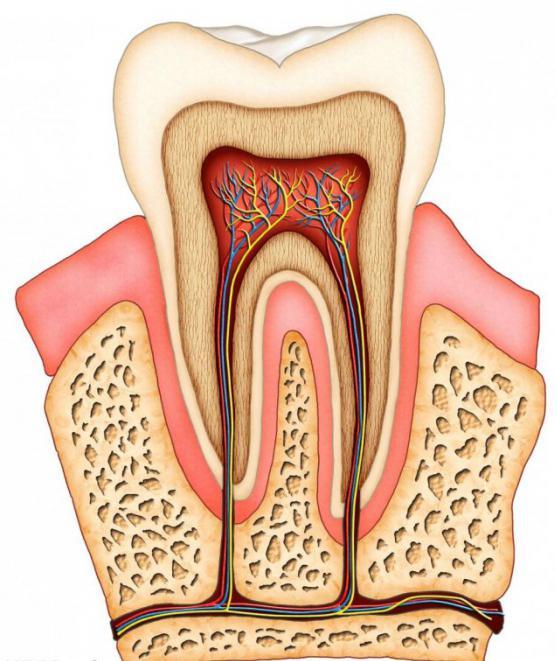 Строение зуба мудрости человека