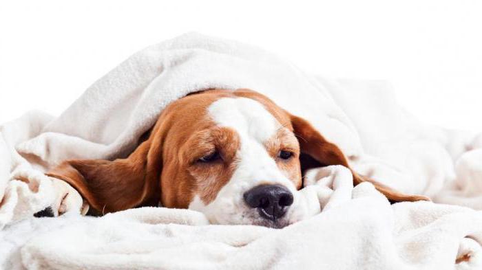 У собаки температура, что делать