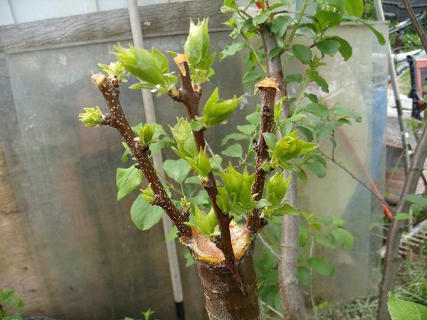Прививка деревьев