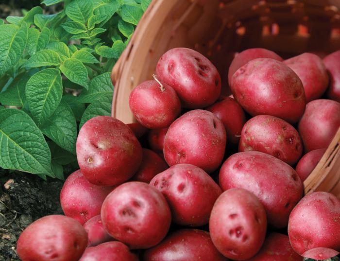 Романце картофель