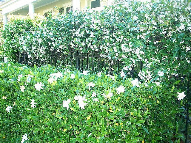 Когда и как сажать жасмин весной 50