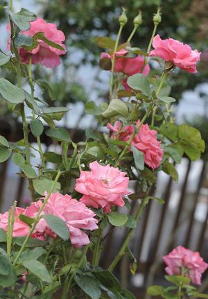 какими удобрениями подкармливать розы