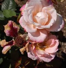 чем можно подкормить розы