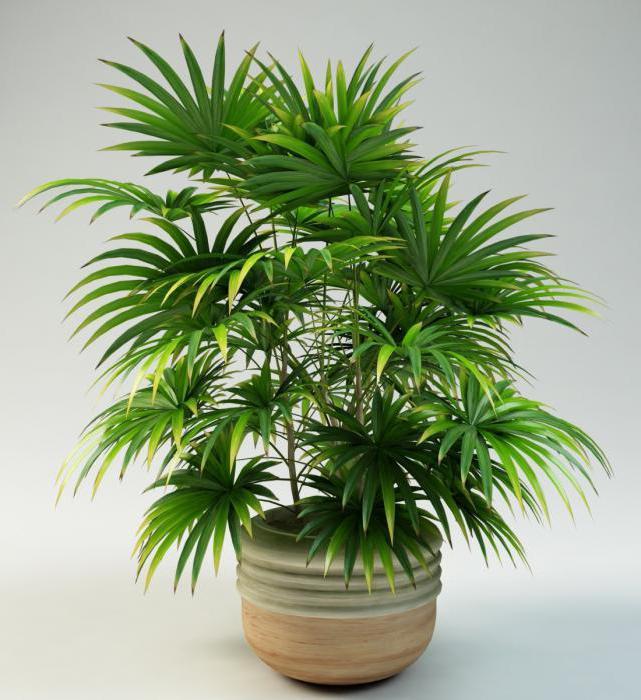 Результат пошуку зображень за запитом пальма леді
