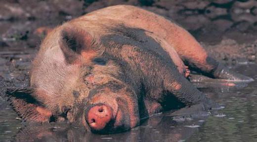Почему евреи/мусульмане едят свинину