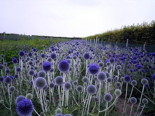 медоносные травы для пчел фото