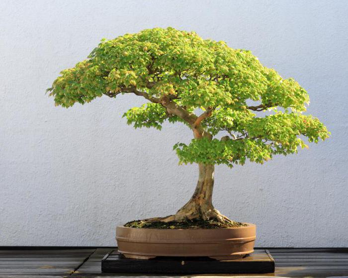 Бонсай дерево
