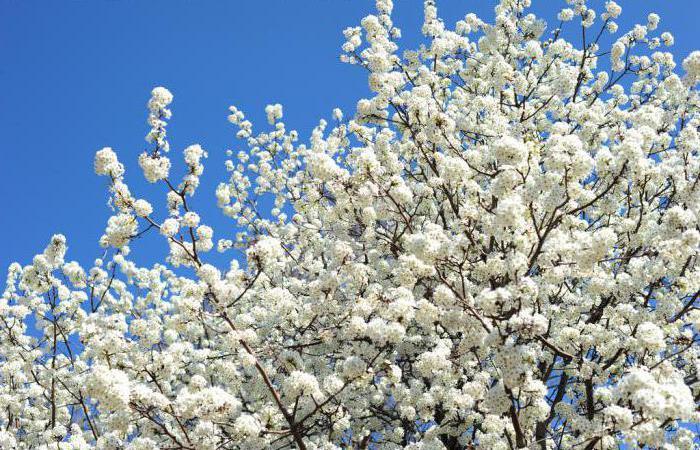 хлопковое дерево сейба