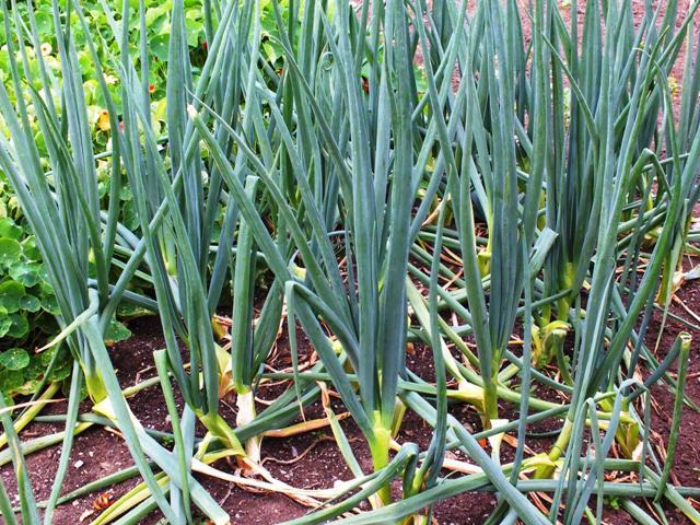 Выращивание лука из головок 126