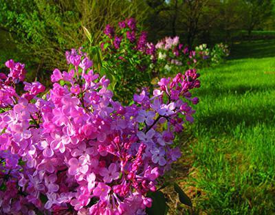 какие цветы цветут в мае на даче