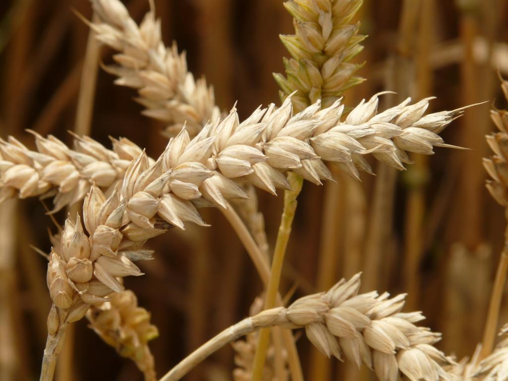 chemical composition of durum wheat