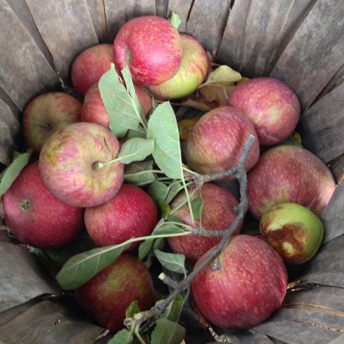 как сделать приспособление для сбора яблок