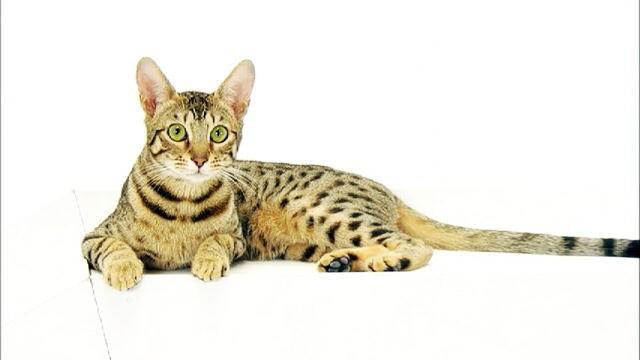 кошки редких пород фото