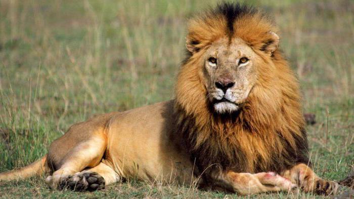 как вести себя со знаком лев