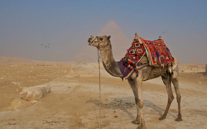 Верблюд: сонник Миллера, мусульманский сонник