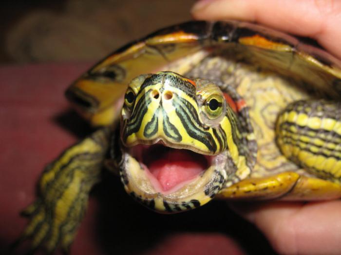 233Уход за красноухими черепашками в домашних условиях