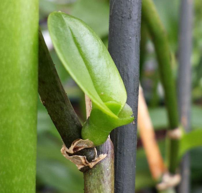 размножение орхидей цитокининовой пастой