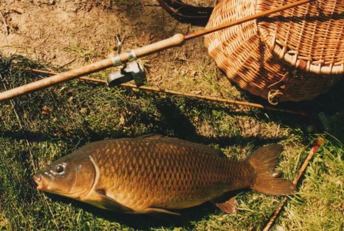прикормка для сазана в русской рыбалке 3.9