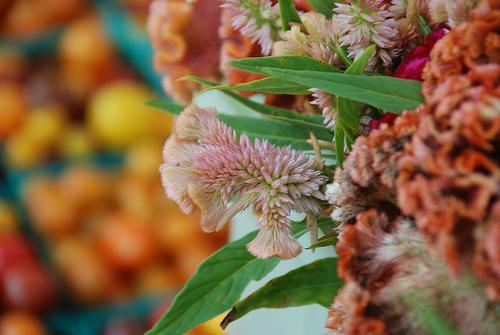 целозия гребешковая выращивание из семян