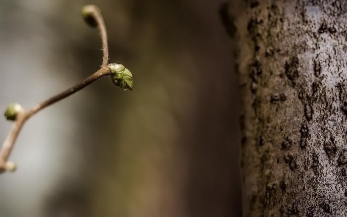 как вырастить штамбовое дерево