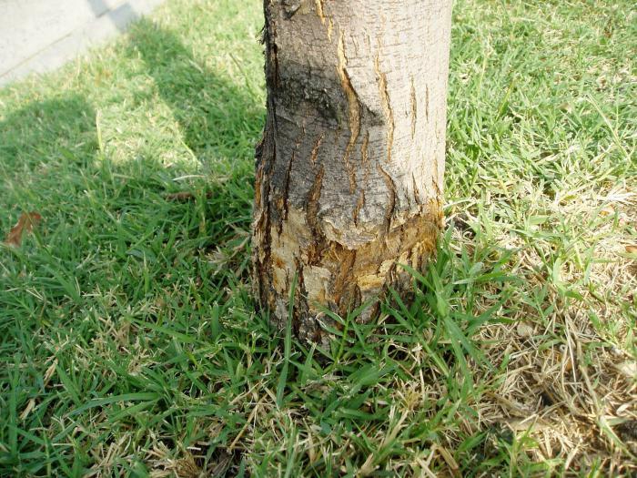 чем полить дерево чтобы засохло
