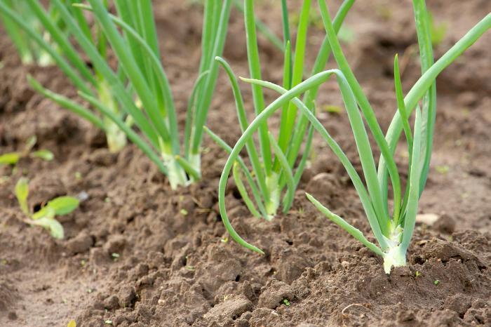 почва для моркови в открытом грунте