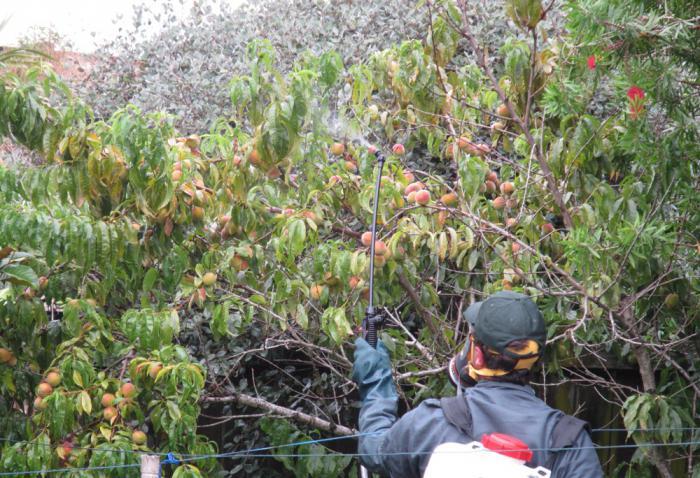 Курчавость листьев персика: лечение, обработка