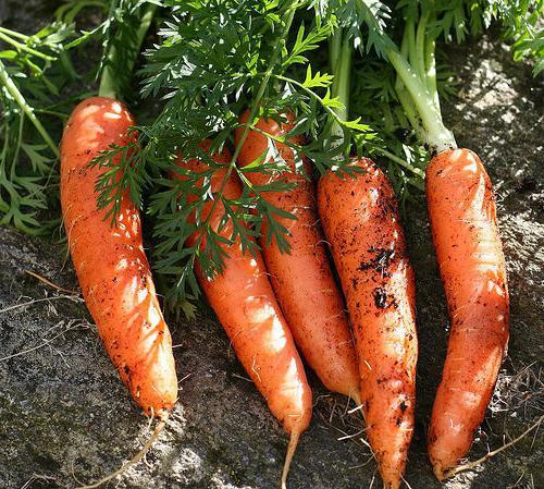 Болезни моркови и борьба с ними фото
