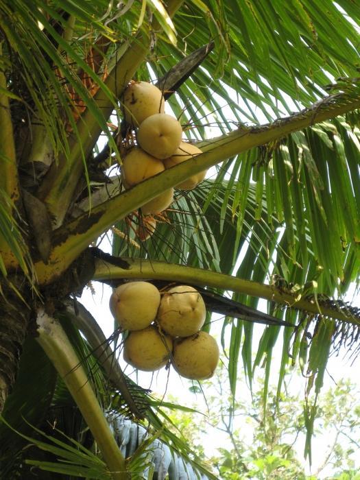 Насколько полезно кокосовое молоко?