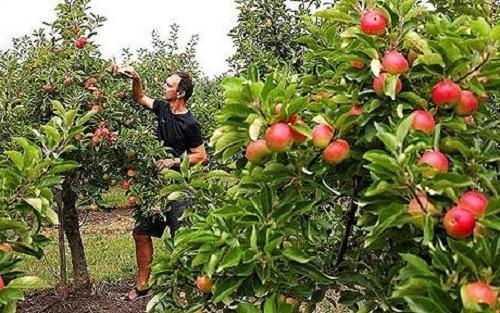 зимостойкие сорта яблонь с фото