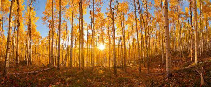 Какого цвета осина осенью