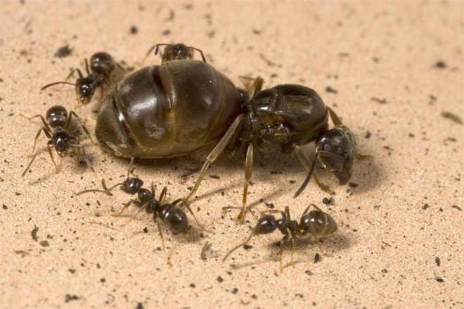 Как выглядит матка муравьиная? Описание и фото