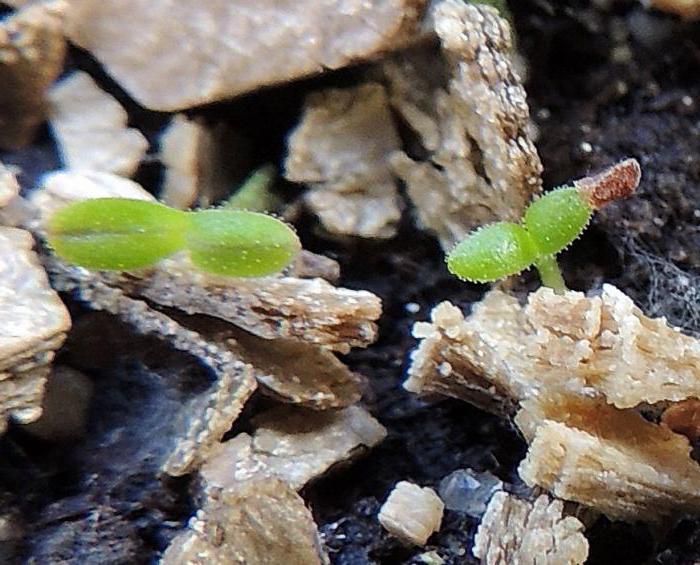 Примула ушковая: выращивание из семян в домашних условиях