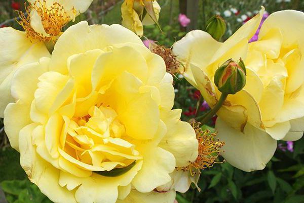 Плетистая роза Казино отзывы фото