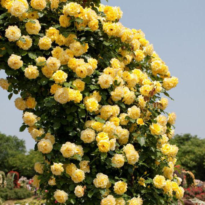 плетистая желтая роза казино