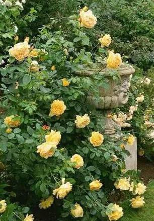 Роза Казино плетистая СдС отзывы