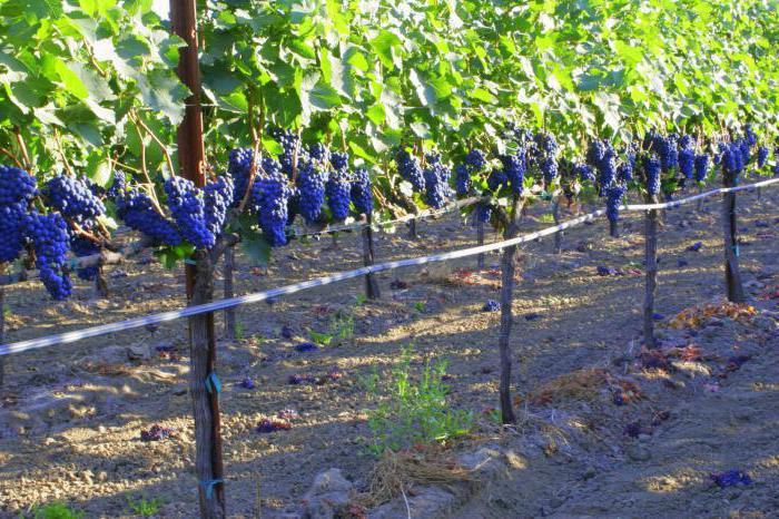 Шпалера для винограда размеры