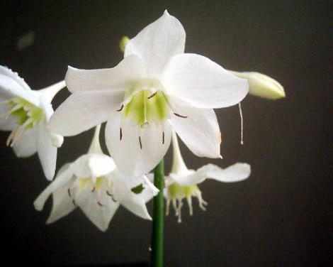 Эухарис цветущий