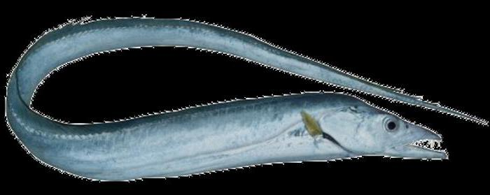 Картинки рыба сабля