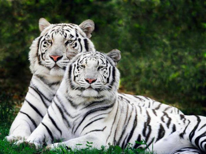 Водолей год тигра в сексе медлительный