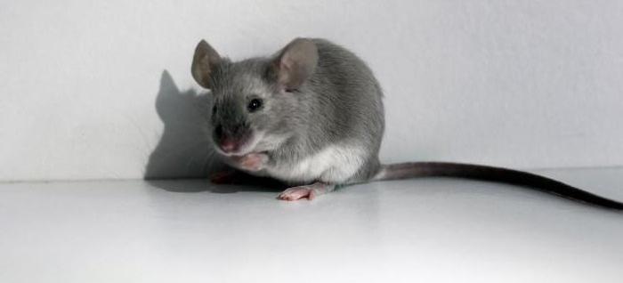 к чему снится маленькая серая мышь